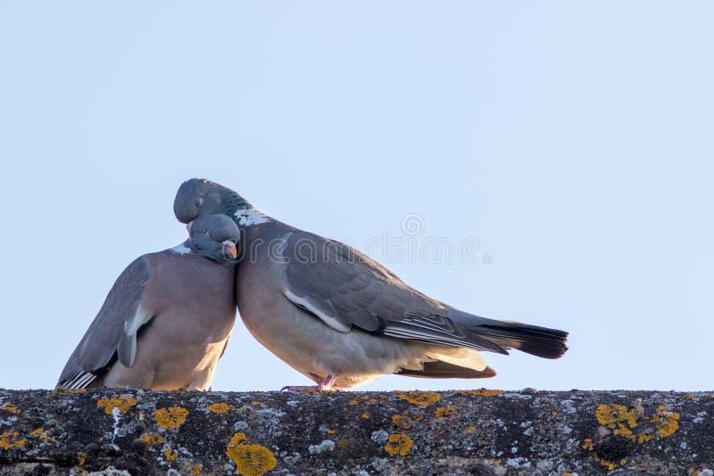 Tiere in der Liebe Brutpaar Vögel, die mit Neigung sich putzen stockfoto