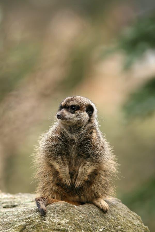 Tiere: Meerkat, das auf einem Felsen sitzt stockbild