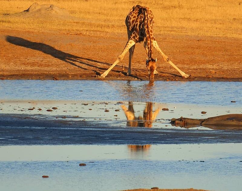 Tiere am waterhole stockbild