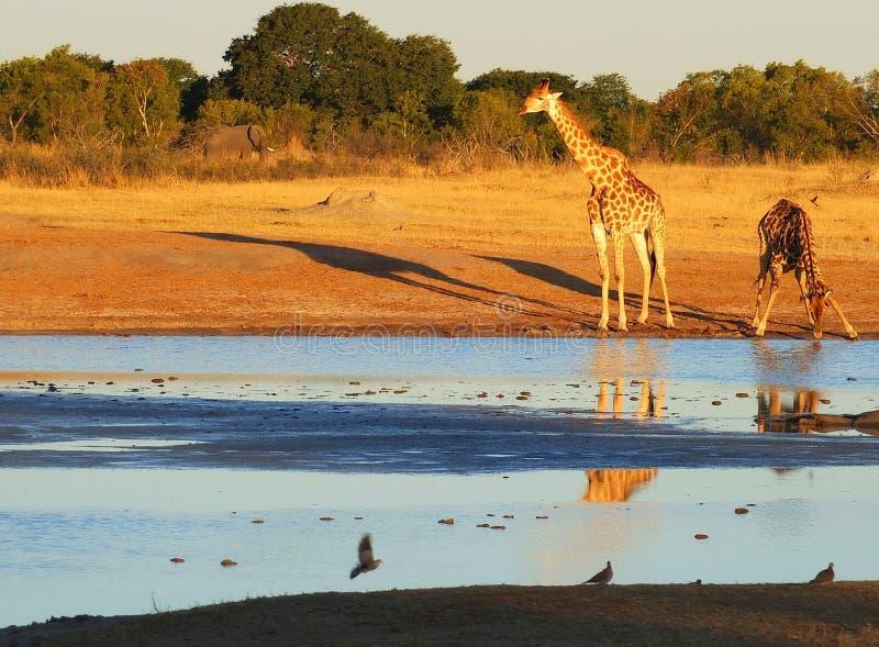 Tiere am waterhole lizenzfreies stockfoto