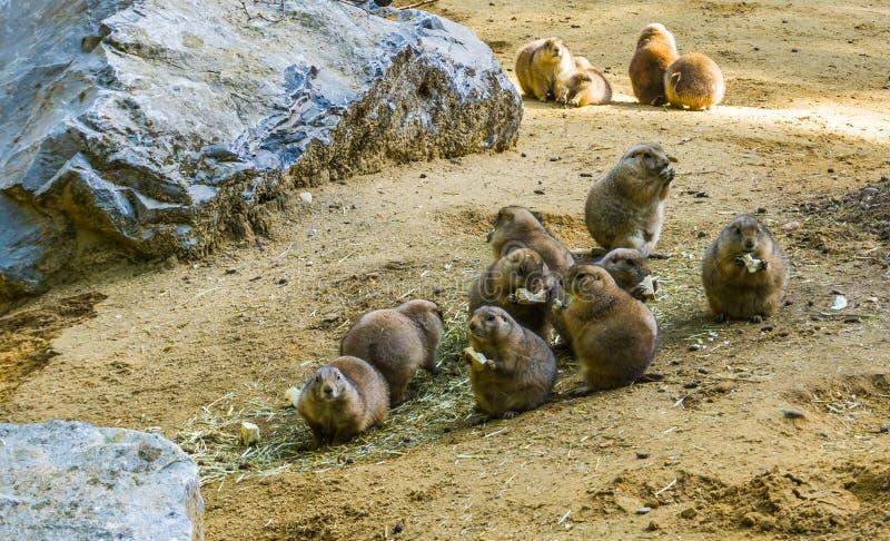 Tierfamilienporträt des entzückenden Nagetiers einer Gruppe kleiner netter Präriehunde zusammen essend in einer sandigen Landscha stockbild