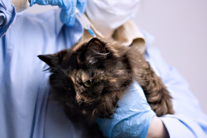 Tierheilkundethema: ein Tierarzt überprüft eine Katze stockfoto