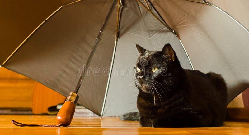 Tierheim- und Haustierannahmekonzept: eine schwarze Katze ist in der Sicherheit zu Hause unter dem grauen Regenschirm, der von ei stockfoto