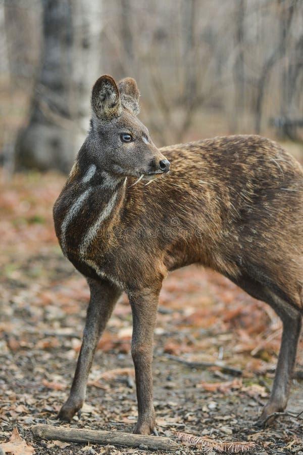 Tierische seltene Hufpaare der sibirischen Moschustiere stockfoto