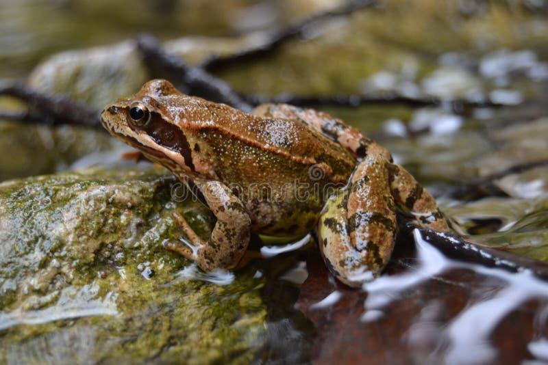Tierisches braunes scharfes gutes nettes Flusswasser des Frosches lizenzfreie stockfotografie