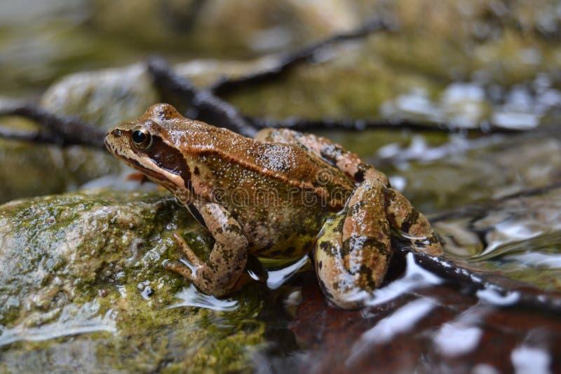 Tierisches braunes scharfes gutes nettes Flusswasser des Frosches stockbilder