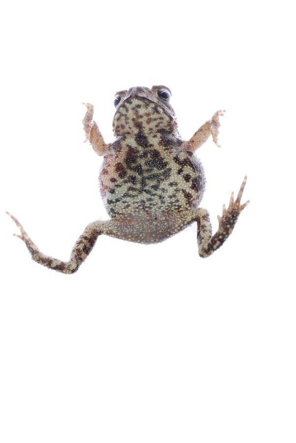 Tierkrötenfrosch lizenzfreie stockfotografie
