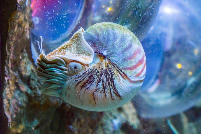 Tiermeeresflora und -fauna-Porträt des schönen Nautiluskalmars eines seltenen exotischen lebenden Oberteilfossils lizenzfreie stockfotos