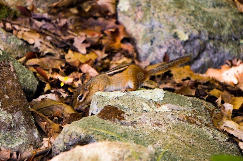 Tierra-ardilla de Chipmuck entre las hojas y las rocas amarillas con algunos imps frescos verdes claros Primavera primer foto de archivo libre de regalías