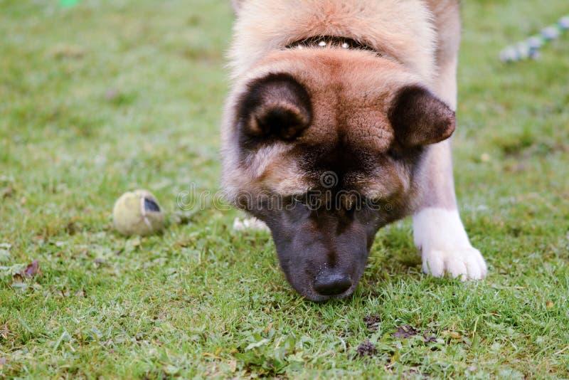Tierra el oler del perro de Akita imagenes de archivo