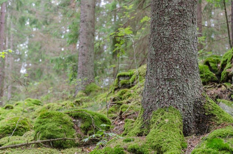 Tierra spruce verde del bosque fotos de archivo libres de regalías