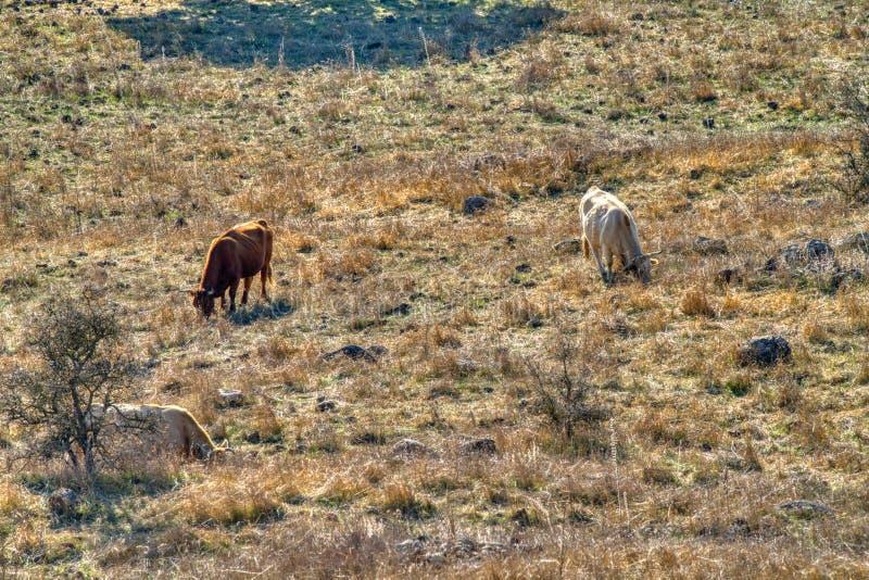 Tierras agrícolas con toros fotografía de archivo