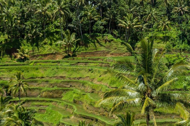 Download Tierras De Labrantío Colgantes Verdes Enormes En Bali Foto de archivo - Imagen de plantación, montañoso: 41909780