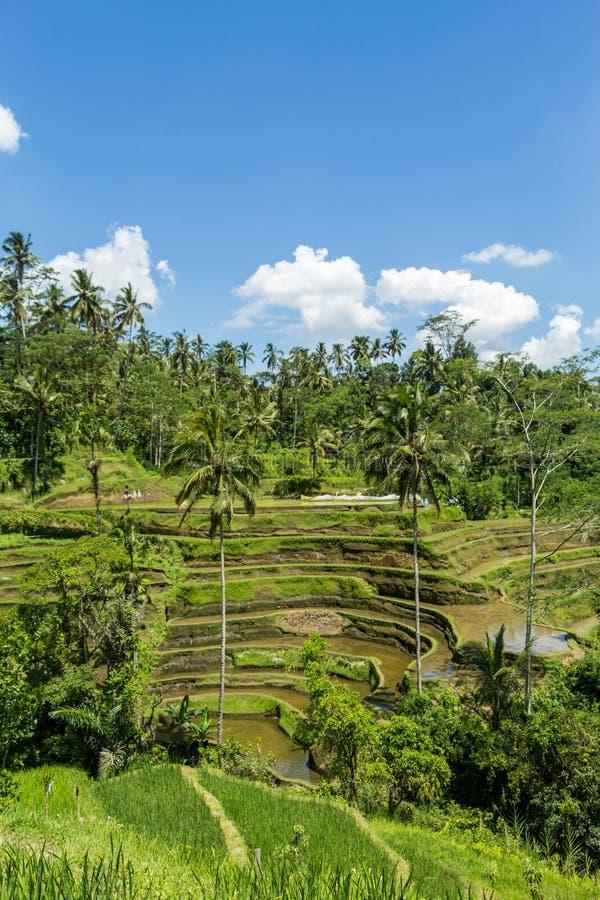 Download Tierras De Labrantío Colgantes Verdes Enormes En Bali Imagen de archivo - Imagen de balinese, bali: 41909933