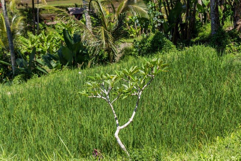 Download Tierras De Labrantío Colgantes Verdes Enormes En Bali Imagen de archivo - Imagen de ecuatorial, lush: 41910027