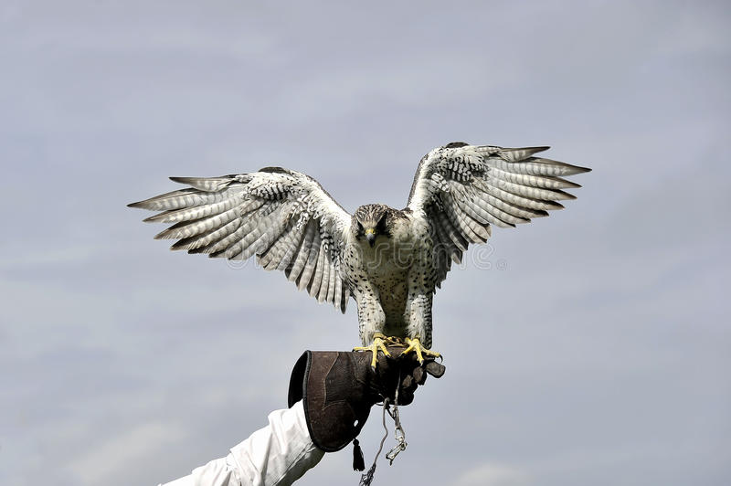 Tierras del halcón de peregrino en el guante fotos de archivo libres de regalías