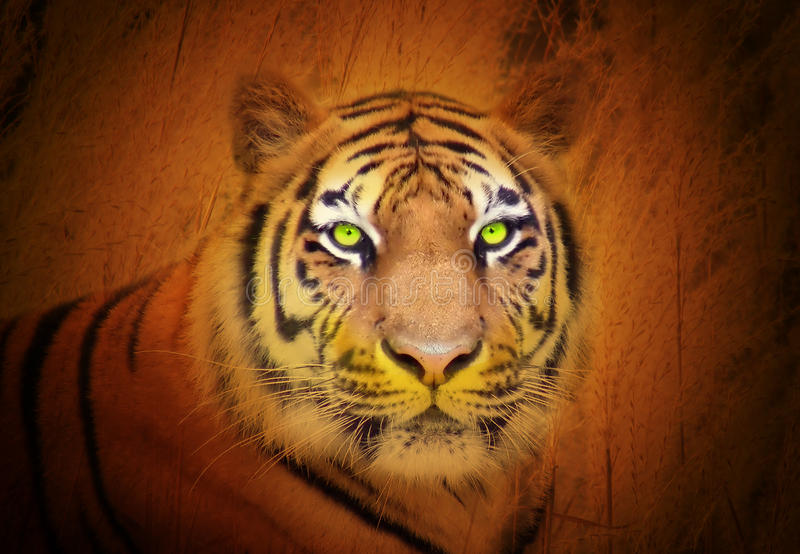 TiertigerStare im wilden stockfotografie