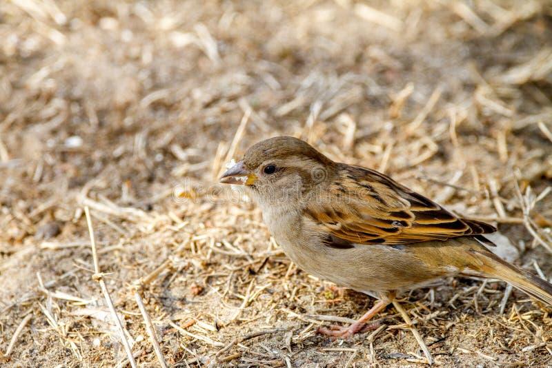 Tiervogelspatz auf dem suchenden GrundLebensmittel lizenzfreie stockfotos