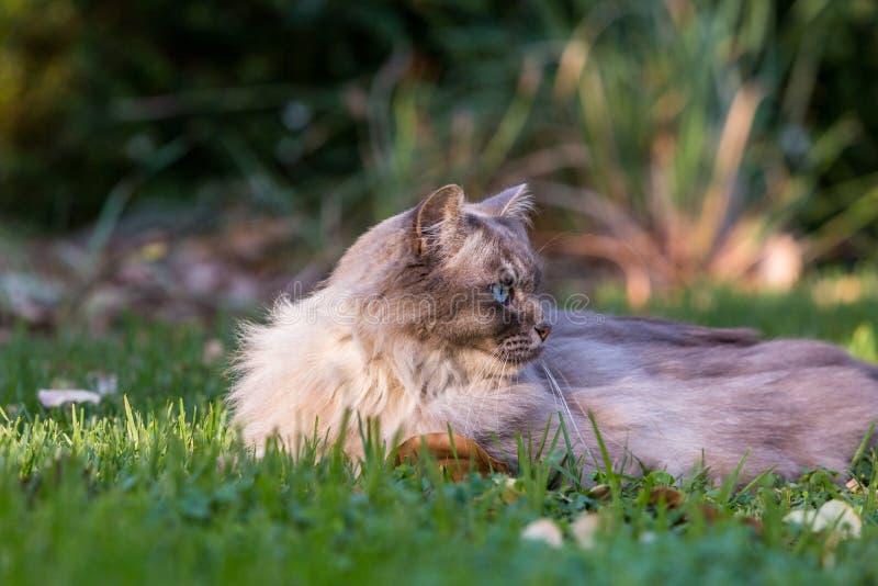 Tiffany kot na gazonie w ogródzie zdjęcia stock