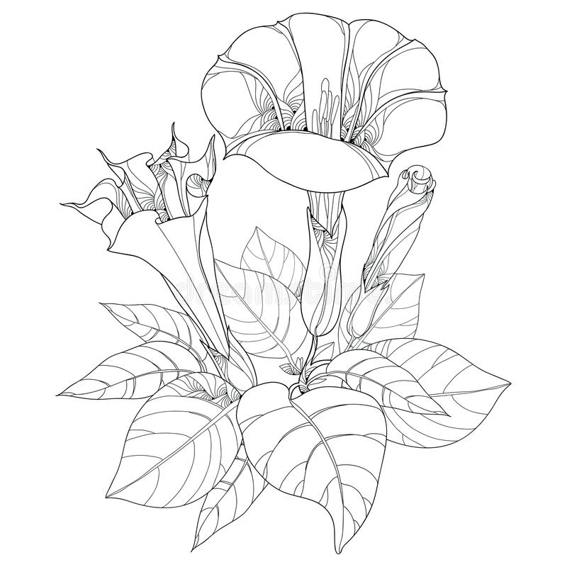 Tige avec le stramonium de datura ou la pomme d'épine Usine toxique Fleur, feuilles et bourgeon d'isolement sur le fond blanc illustration libre de droits