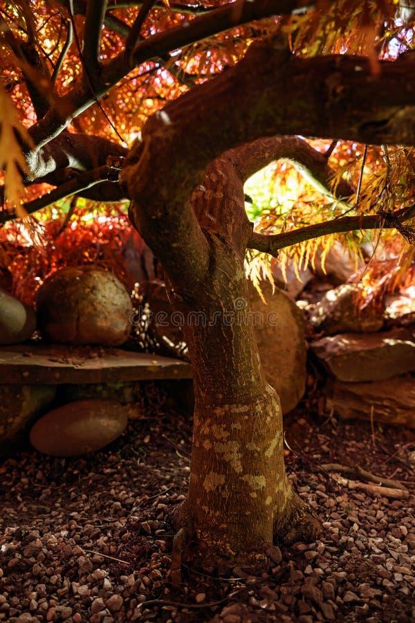 Tige d'arbre d'Acer, érable japonais image stock