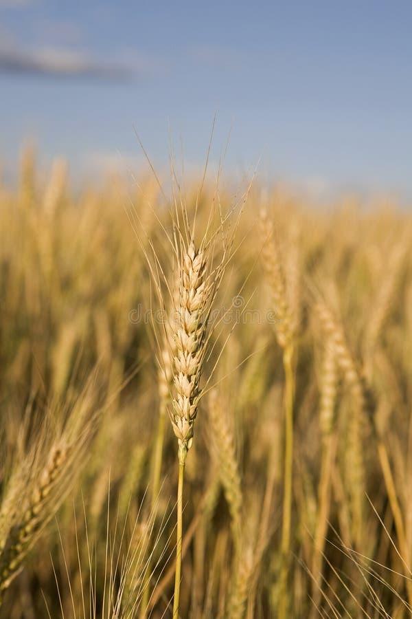 Tige de blé photographie stock