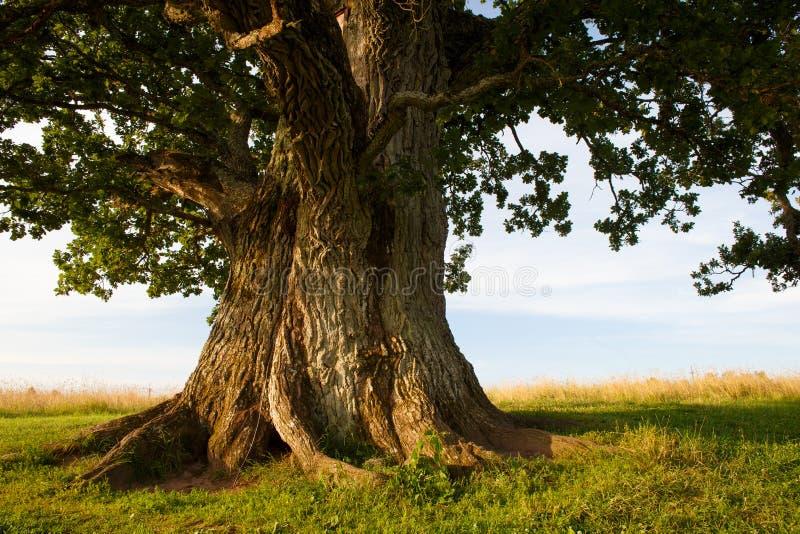 Tige de chêne grand image libre de droits