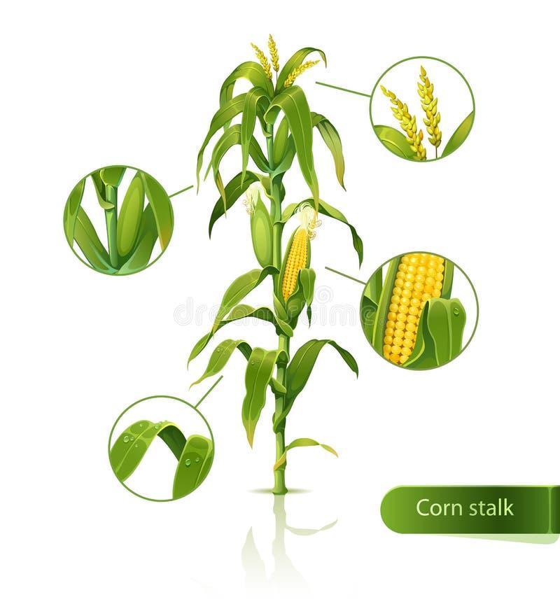 Download Tige de maïs. illustration de vecteur. Illustration du nature - 24265550