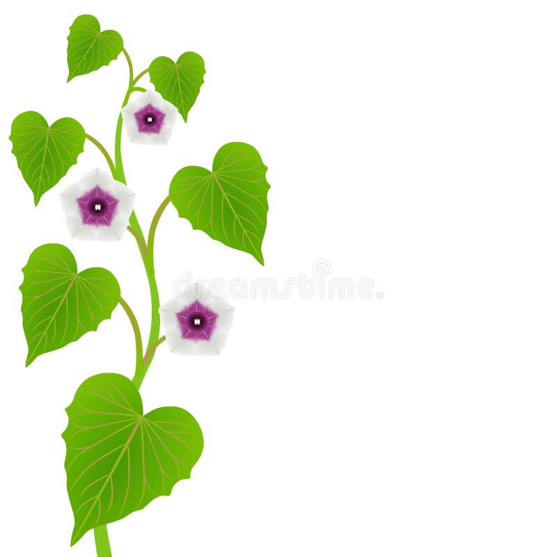 Tige de patate douce avec des feuilles et des fleurs sur un fond blanc illustration de vecteur