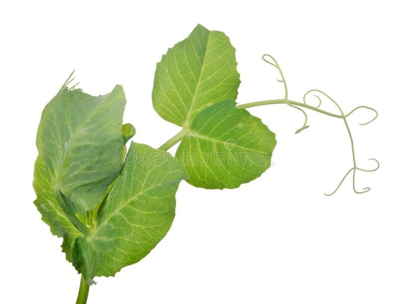 Tige de pois avec des feuilles et des boucles de vert photos libres de droits