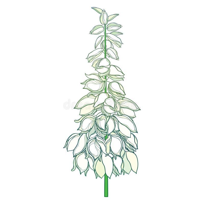 Tige de vecteur avec le groupe de fleur de filamentosa de yucca d'ensemble ou d'aiguille d'Adam et bourgeon fleuri dans le blanc  illustration de vecteur