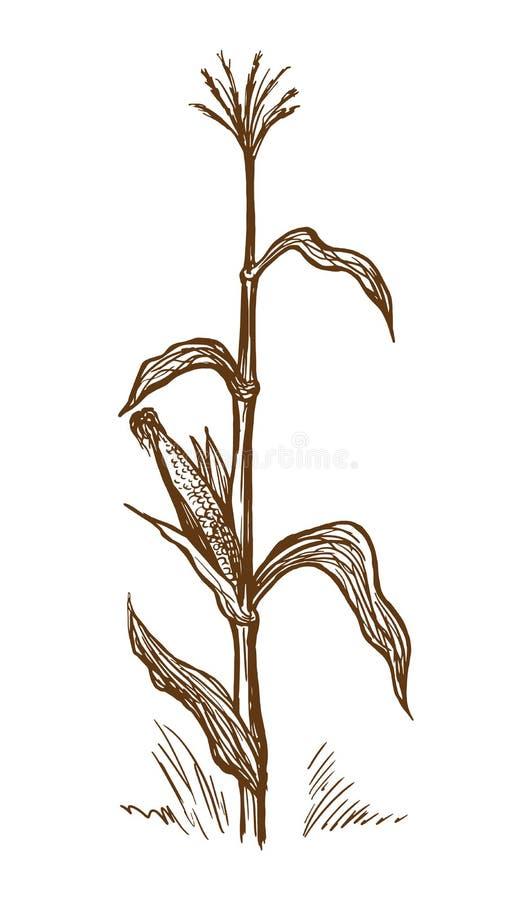 Tige debout de maïs illustration de vecteur