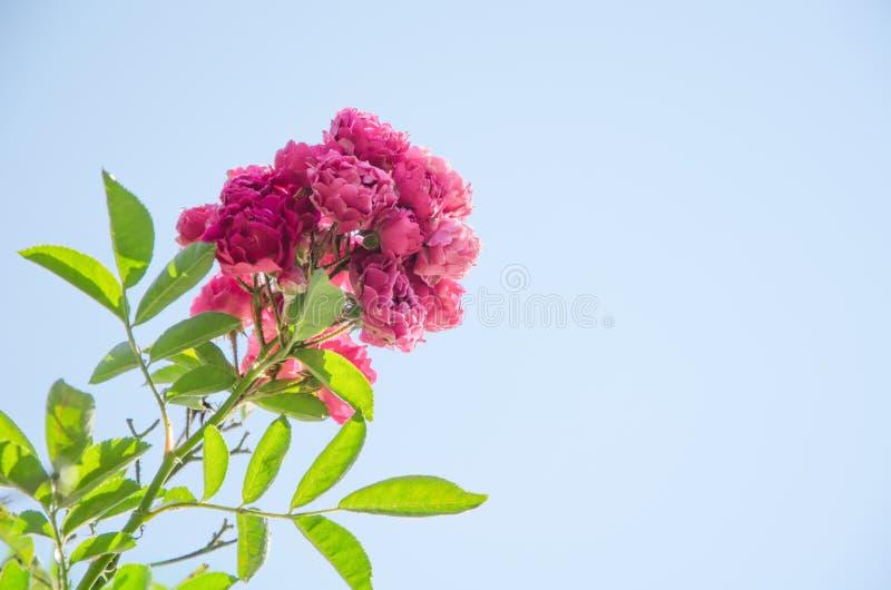 Tige des roses roses sauvages sur le ciel bleu-clair de fond photo libre de droits