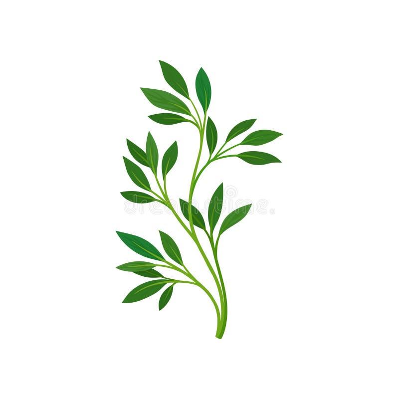 Tige mince avec des feuilles Illustration de vecteur sur le fond blanc illustration stock