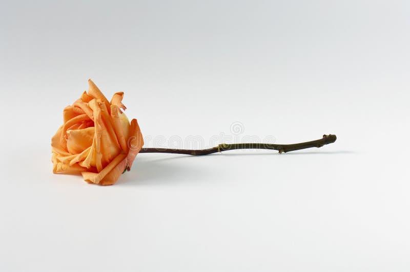 Tige rose d'orange images stock