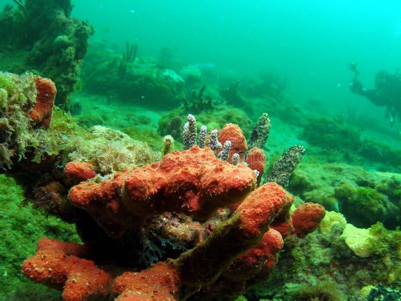 Tige rouge d'éponge et de mer images libres de droits