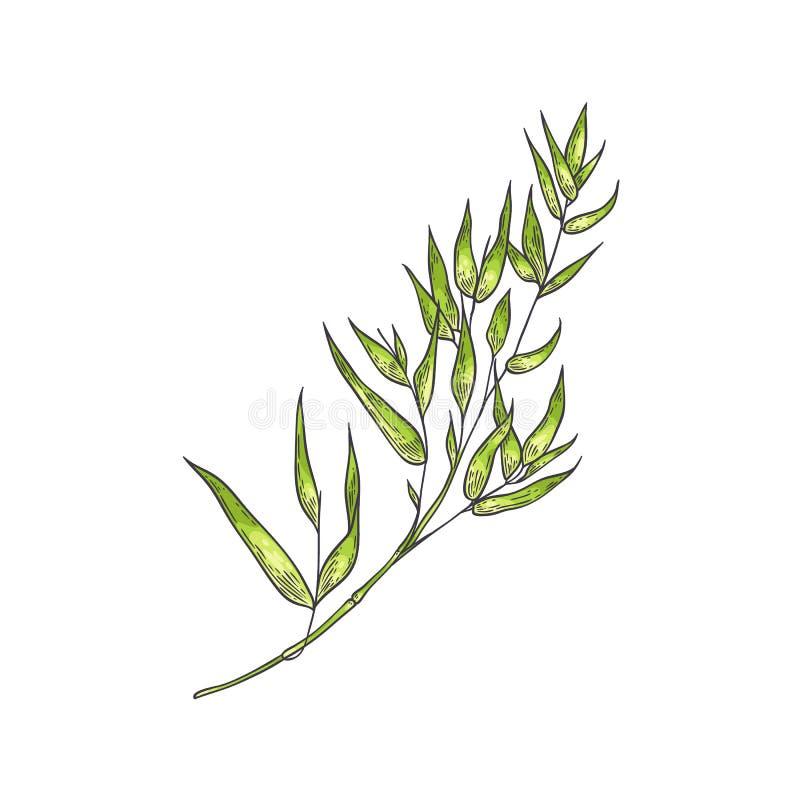 Tige verte en bambou avec des feuilles dans le style de croquis d'isolement sur le fond blanc illustration stock