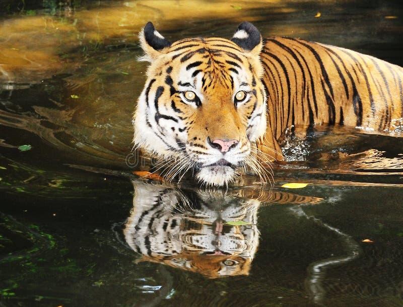 Tiger 02 stock image