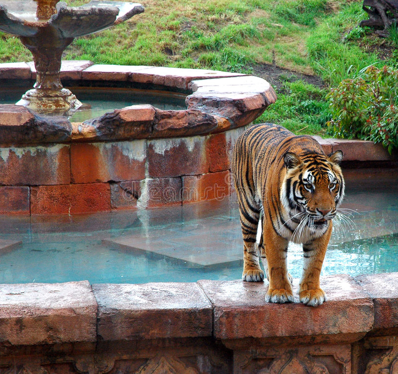 Tiger. A tiger in an open habitat royalty free stock photography