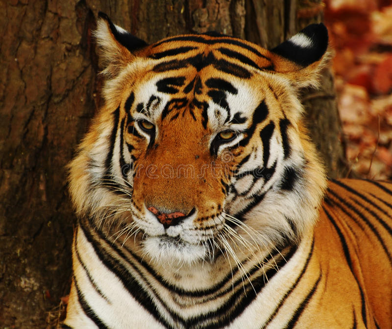 Download Tiger stock photo. Image of forest, sher, mammal, tiger - 10826350