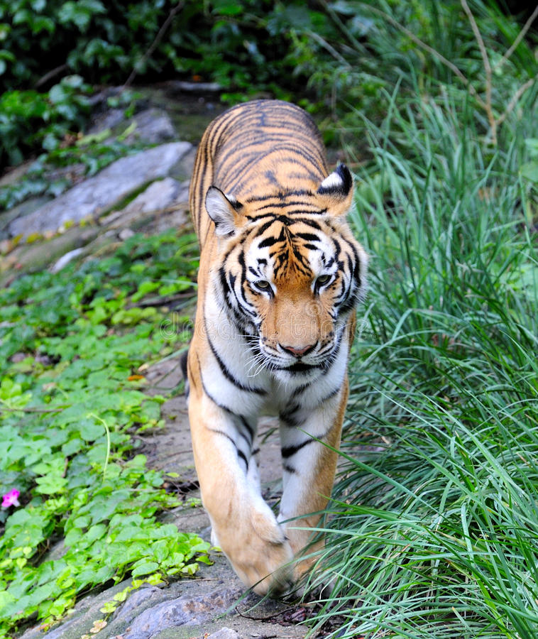 Download Tiger stock image. Image of stare, close, tigers, wildlife - 11134789