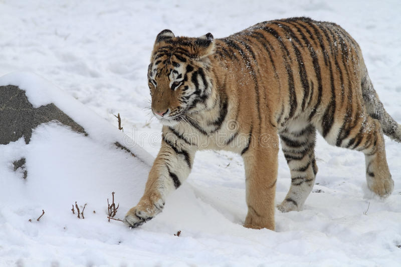 Download Tiger stock photo. Image of background, animals, care - 12034864