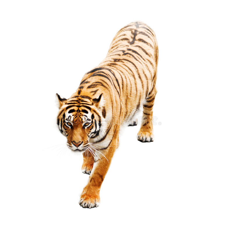 Tiger. Isolated on white background