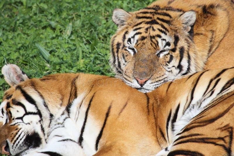 Download Tiger stockbild. Bild von streifen, angriff, blick, raub - 12201061
