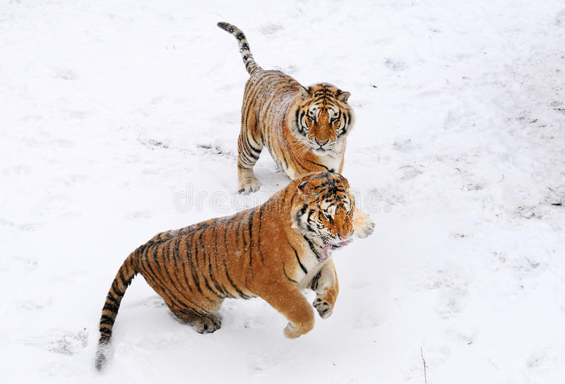 Download Tiger stock photo. Image of arabesques, king, look, head - 12253268