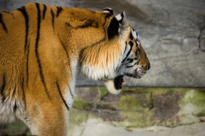 Tiger. Wild animal / siberian / portrait stock images