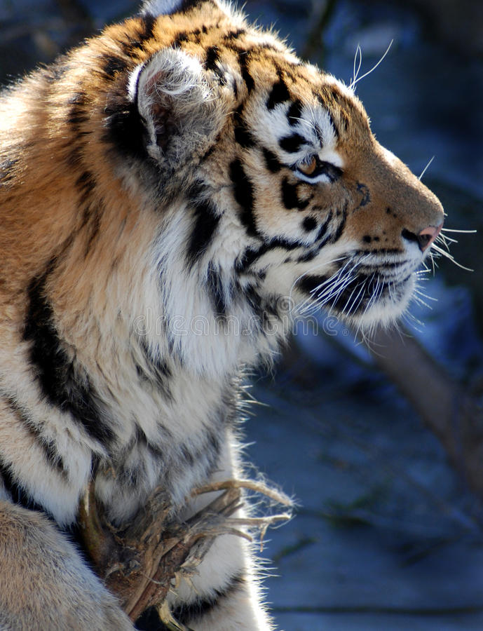 Download The tiger stock image. Image of male, majestic, staring - 13674247