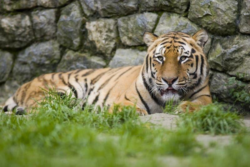 Download Tiger Stock Image - Image: 1405021