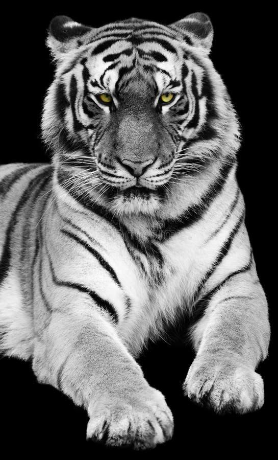 Free Tiger Stock Photo - 14164930