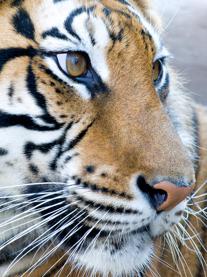 Download Tiger stock photo. Image of animal, felidae, beast, fierce - 15545852